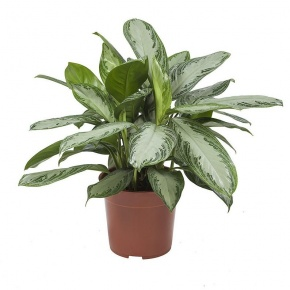 aglaonema-siver-bay